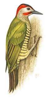 carpintero-verde.jpg